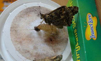 Hurray our butterflies have hatched